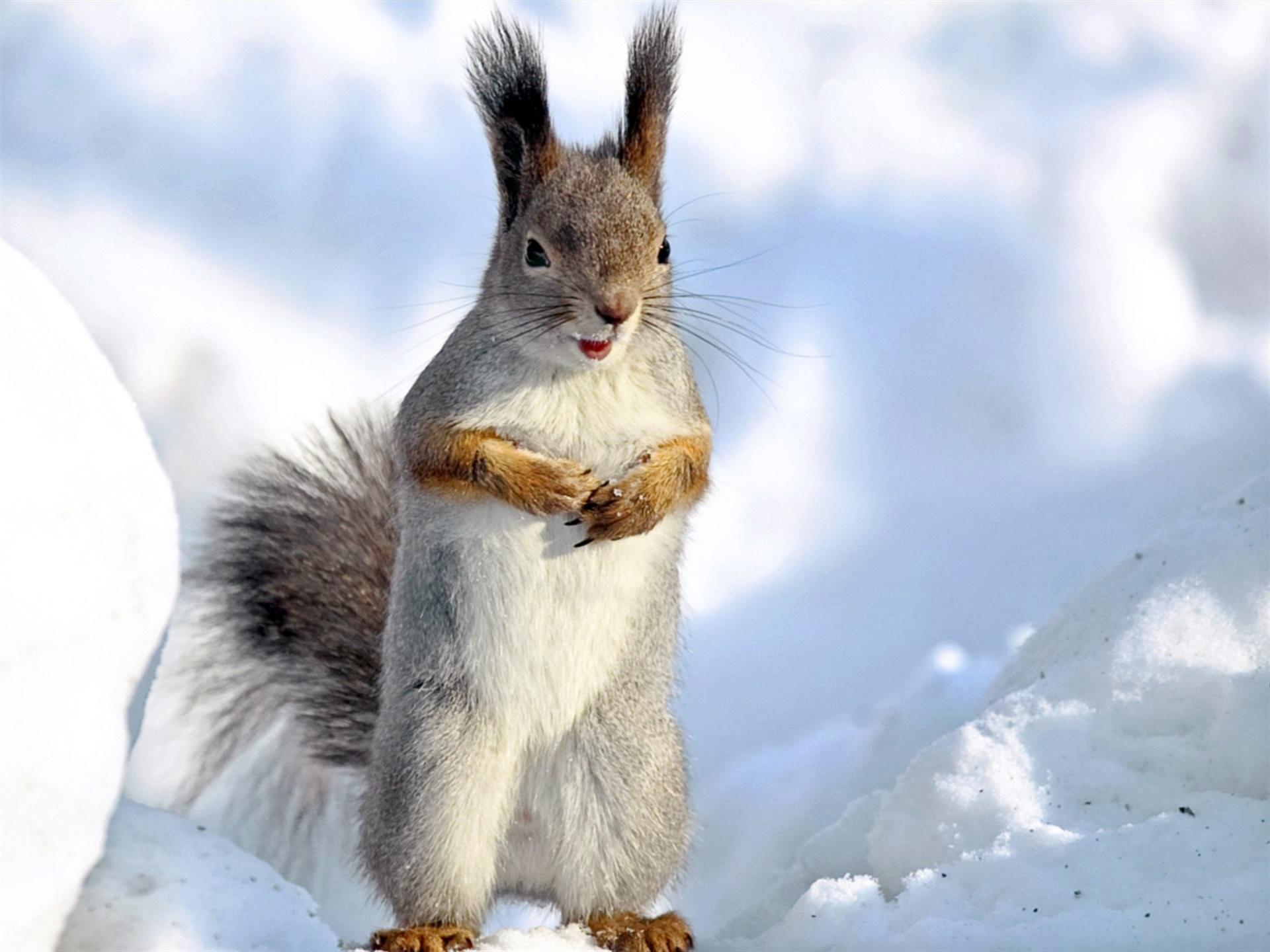 белка, снег, сугробы