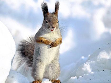 Фото бесплатно белка, снег, сугробы