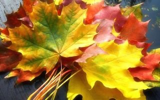 Бесплатные фото букет,листья,клен,цветные,осень,обои,разное