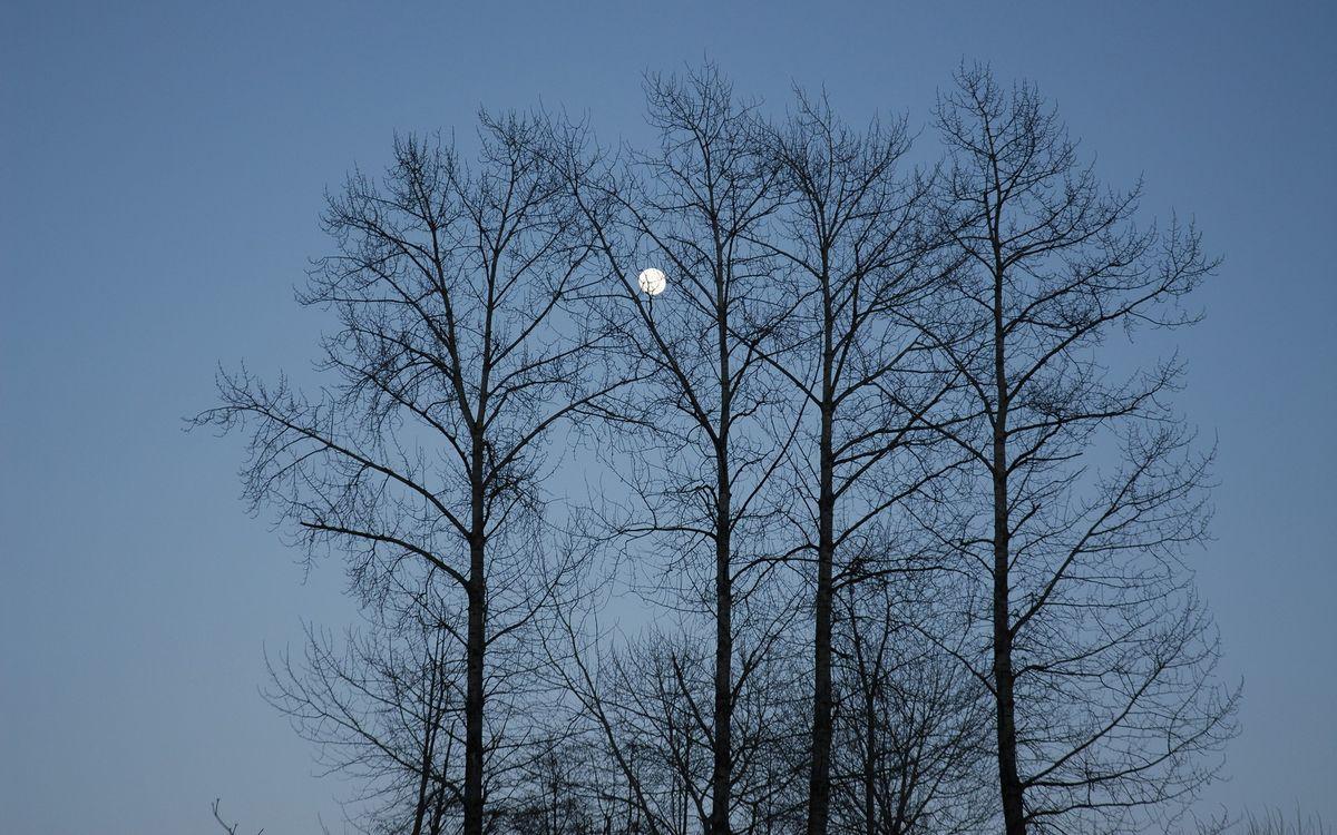 Картинка деревья, кора, небо, луна, синий, пейзажи, природа на рабочий стол. Скачать фото обои природа