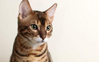 Фото бесплатно кошка, морда, бенгальский