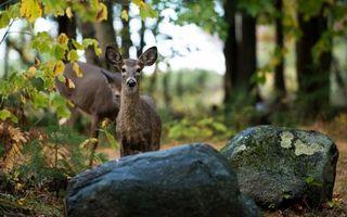 Бесплатные фото косуля,зверь,лес,деревья,камень,поляна,лужок
