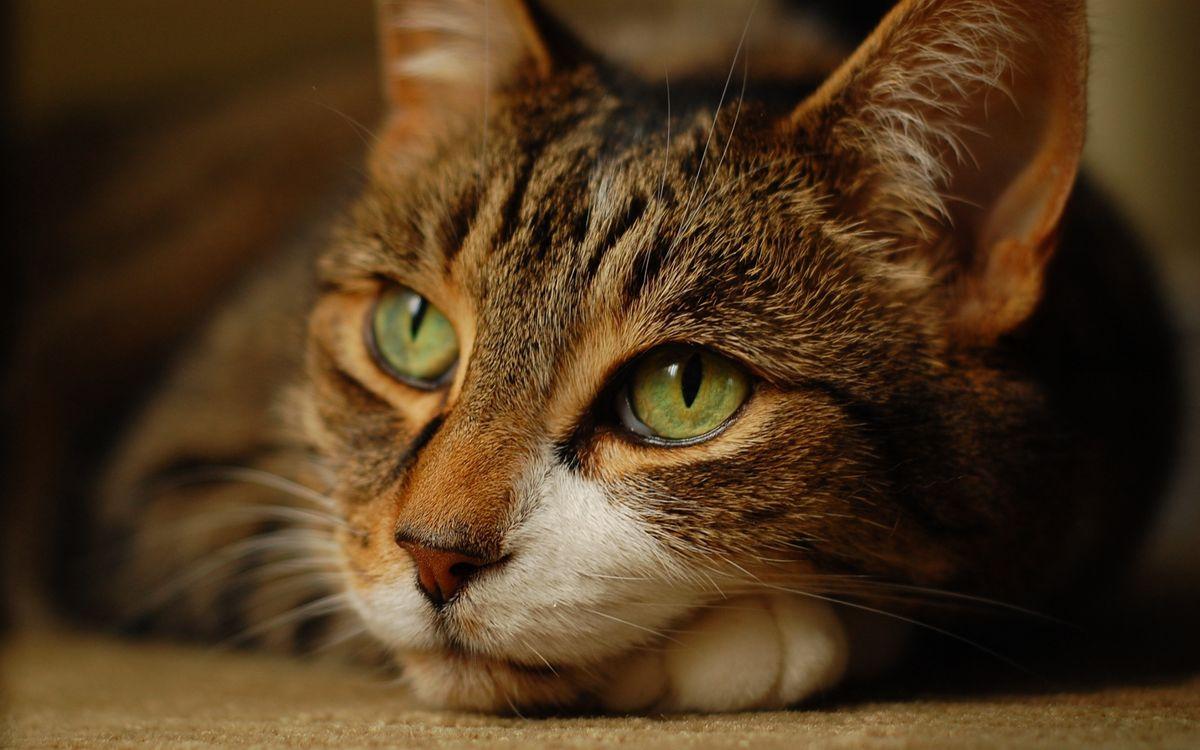 Фото бесплатно кот, красивый, глаза, зеленые, взгляд, шерсть, нос, рот, усы, уши, окрас, порода, кошки, кошки