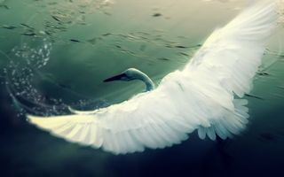Photo free swan, wings, swing