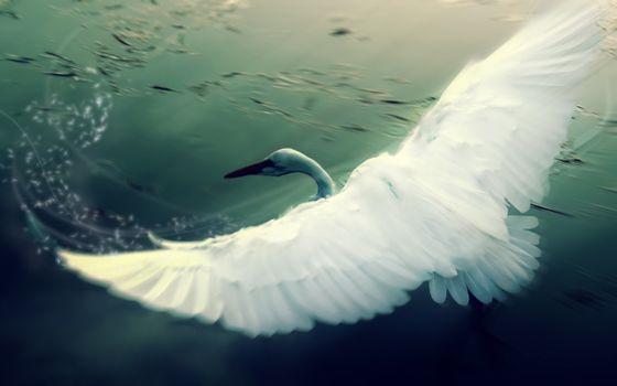 Фото бесплатно лебедь, крылья, взмах