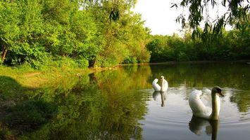 Бесплатные фото лебеди,пара,крылья,перья,пруд,вода,лес