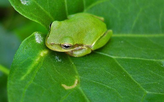 Бесплатные фото лягушка,зеленая,глаза,лапы,лист,прожилки,животные