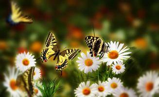 Заставки поле, цветы, ромашки, бабочки, природа