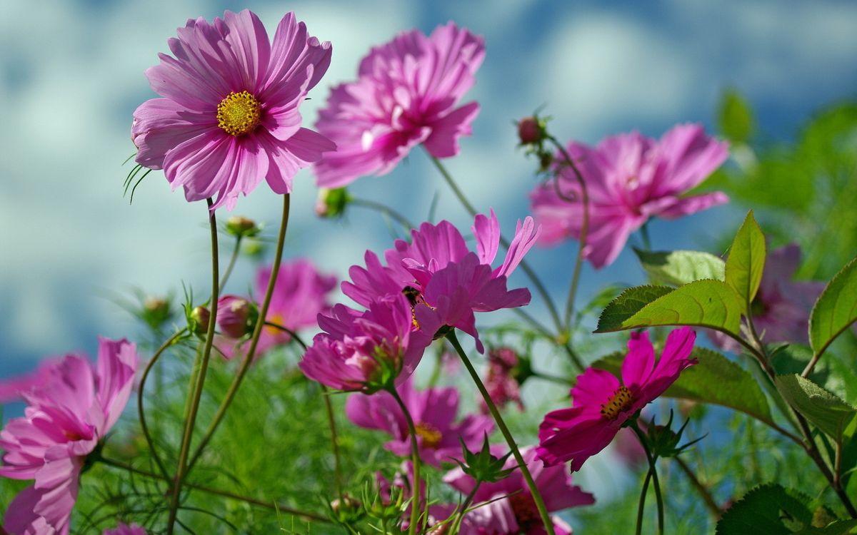 Фото бесплатно ромашки, поле, луг, клумба, цветки, стебель, листья, фон, голубой, букет, цветы, цветы