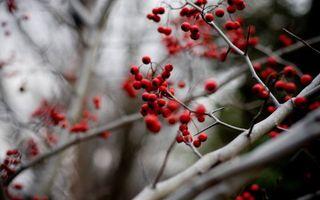Обои рябина, ягоды, ветка, урожай, осень, красная, спелая, природа