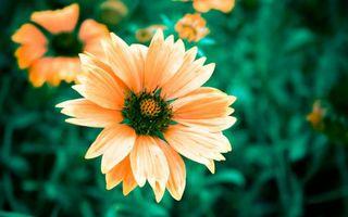 Фото бесплатно цветок, ромашка, лепестки