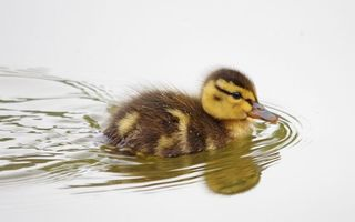 Бесплатные фото утенок,плывет,клюв,глаза,пух,вода,птицы