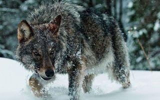 Бесплатные фото волк идёт по снегу,зима,снег,wolf,животные