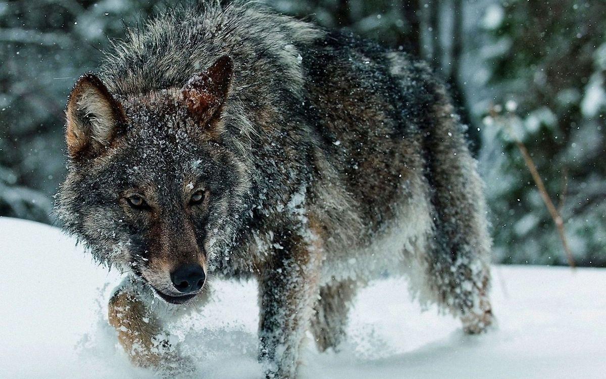 Обои волк идёт по снегу, зима, снег, wolf, животные на телефон | картинки животные