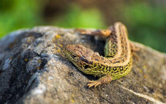 Бесплатные фото ящерица,глаза,когти,камень,тепло,рептилии,макро