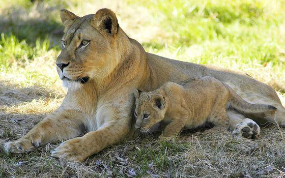 Фото бесплатно львёнок, львица, тень