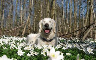 Фото бесплатно природа, цветы, весна, собака