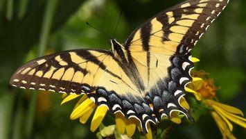 Бесплатные фото бабочка,кралья,раскраска,желтый,цветок,одуванчик,насекомые