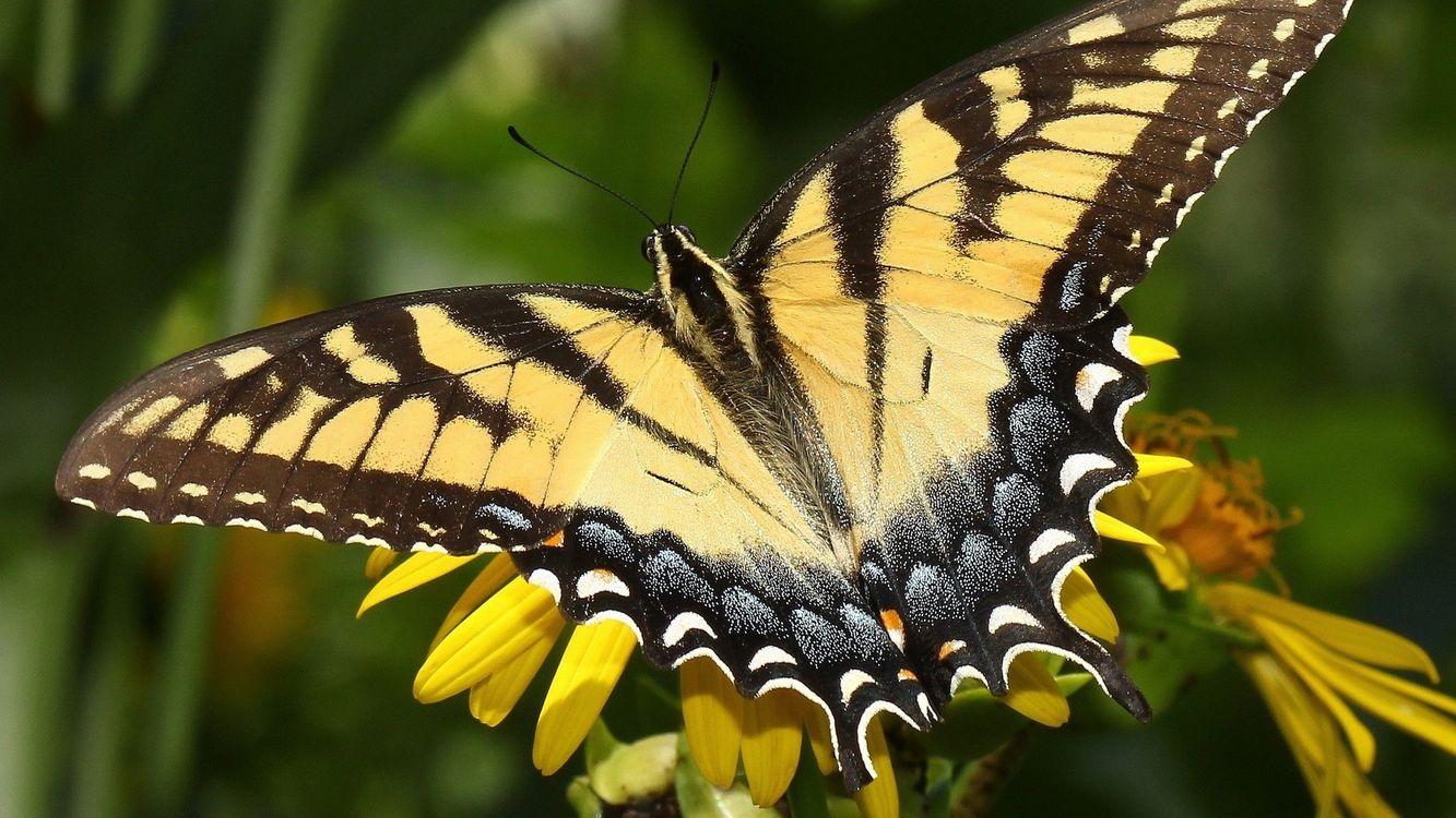 Фото бесплатно бабочка, кралья, раскраска - на рабочий стол