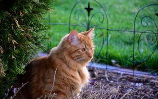 Заставки рыжий, глаза, кошка