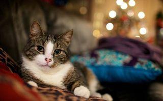 Бесплатные фото кот,большой,уши,усы,глаза,окрас,пятнышки