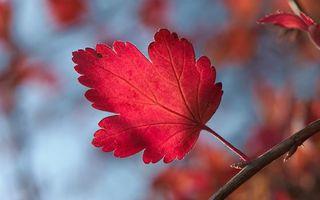 Фото бесплатно красный, листик, ветка
