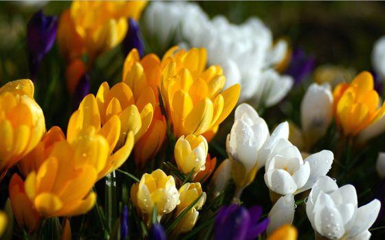Заставки крокусы,цветки,весенние,бутоны,желтые,фиолетовые,белые,цветы
