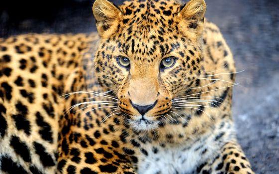 Фото бесплатно леопард, взгляд, мордашка