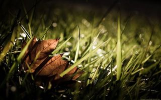 Обои листик, клен, сухой, трава, зелень, природа