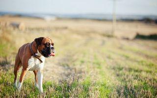 Фото бесплатно охранник, газон, шерсть