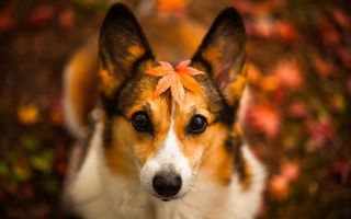 Фото бесплатно волосы, осень, щенок