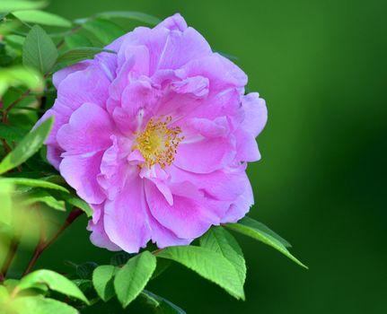 Скачать флора, роза обои на телефон бесплатно
