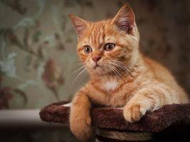 Фото бесплатно коты, лапы, рыжий