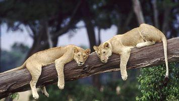 Бесплатные фото левиці,дерево,лежать,відпочивають,зелений,африка,животные