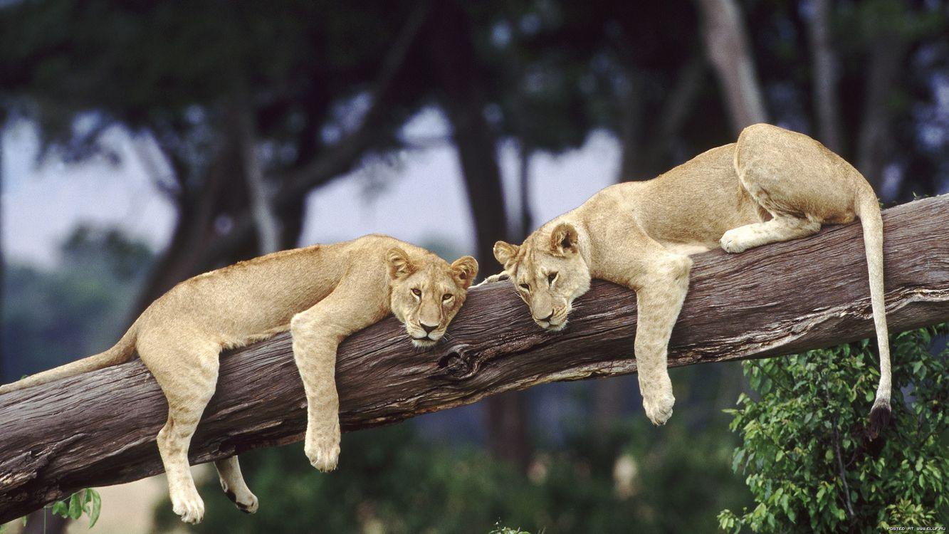 Обои левиці, дерево, лежать, відпочивають, зелений, африка, животные, природа на телефон | картинки природа