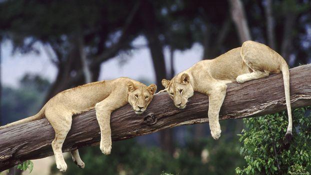 Photo free lions, tree, lying