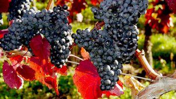 Фото бесплатно черный, виноград, ветки