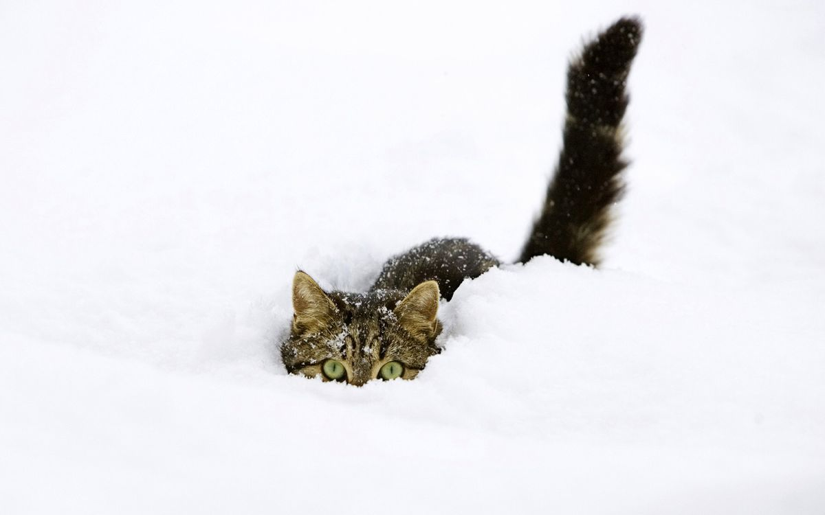 Фото бесплатно кот, снег, смотрит - на рабочий стол