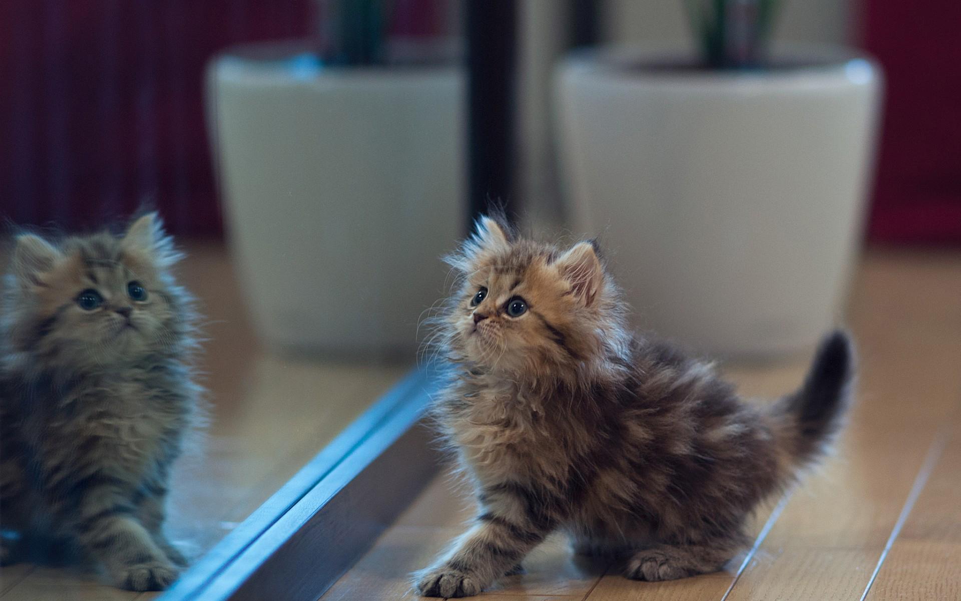 Обои котенок, пушистый, комната, зеркало