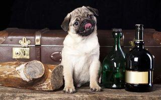 Заставки мопс, морда, язык, бутылки, полено, чемодан, собаки