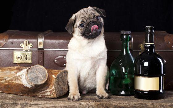Бесплатные фото мопс,морда,язык,бутылки,полено,чемодан,собаки