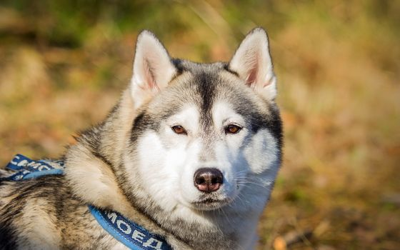 Photo free husky, dog, husk