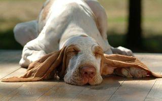 Бесплатные фото пес,щенок,лежит,уши,порода,глаза,веки