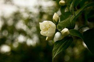Фото бесплатно цветы, жасмин, лето