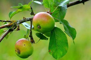 Бесплатные фото ветка,яблоки,яблоня,природа