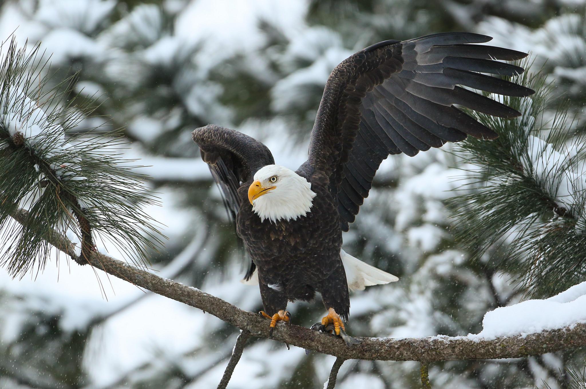Обои Белоголовый орлан, птица, хищник