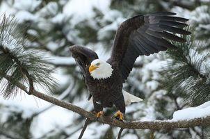 Бесплатные фото Белоголовый орлан,птица,хищник