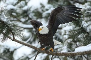 Photo free Bald eagle, bird, predator
