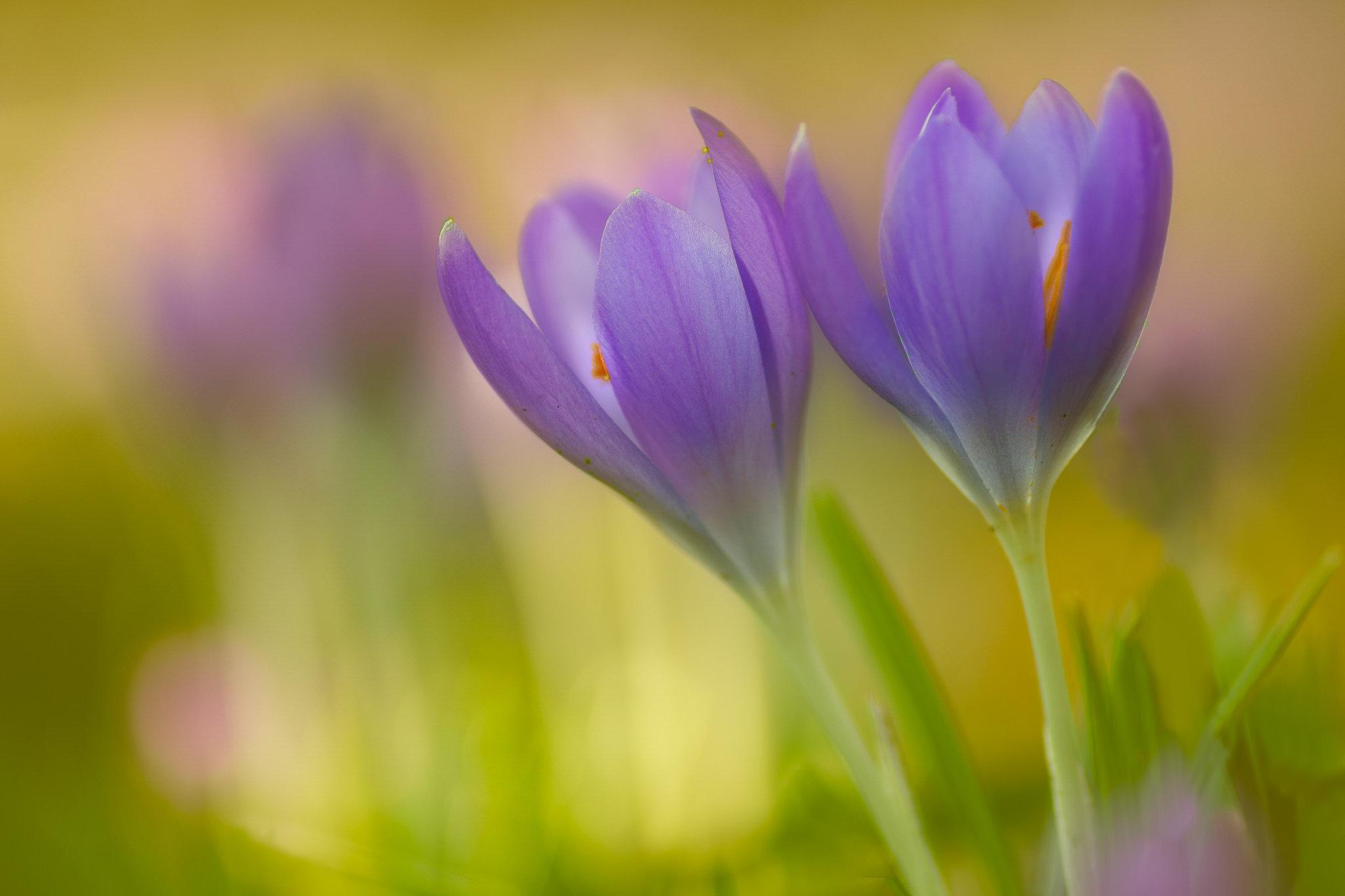 обои Crocus, крокусы, цветы, флора картинки фото