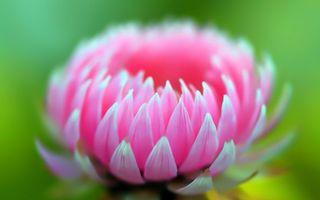 Обои цветок, астра, бутон, лепестки, розовые, фон, зеленый